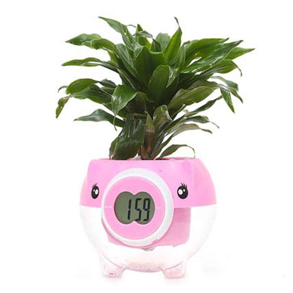 Good Luck Plants-Mothers Day Dracena Plant