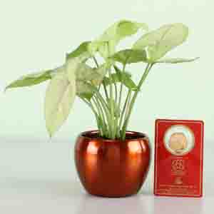 Diwali Hampers-Syngonium Plant & Gold Plated Coin