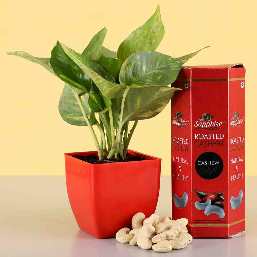 Money Plant With Roasted Cashews