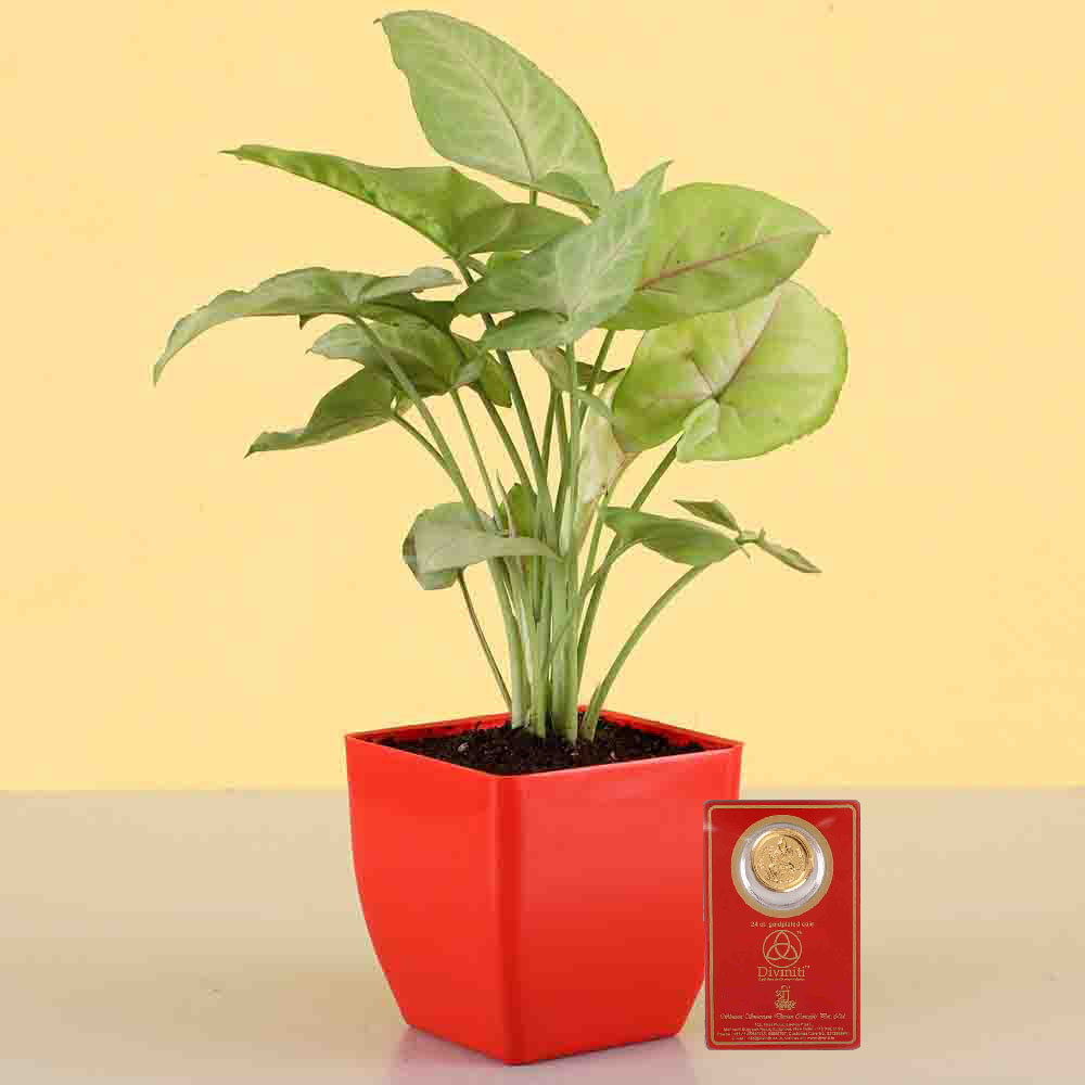 Diwali Hampers-Syngonium Plant & Free Gold Plated Coin Combo