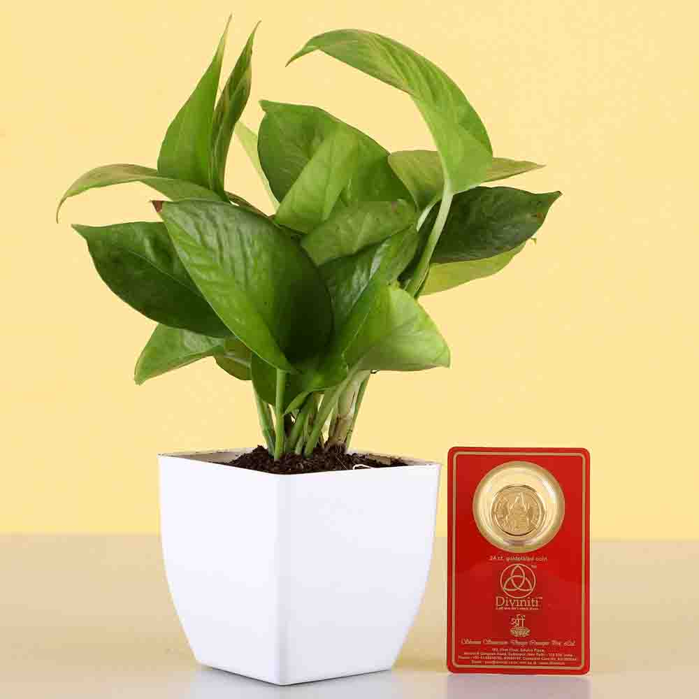 Money Plant & Free Gold Plated Coin Combo