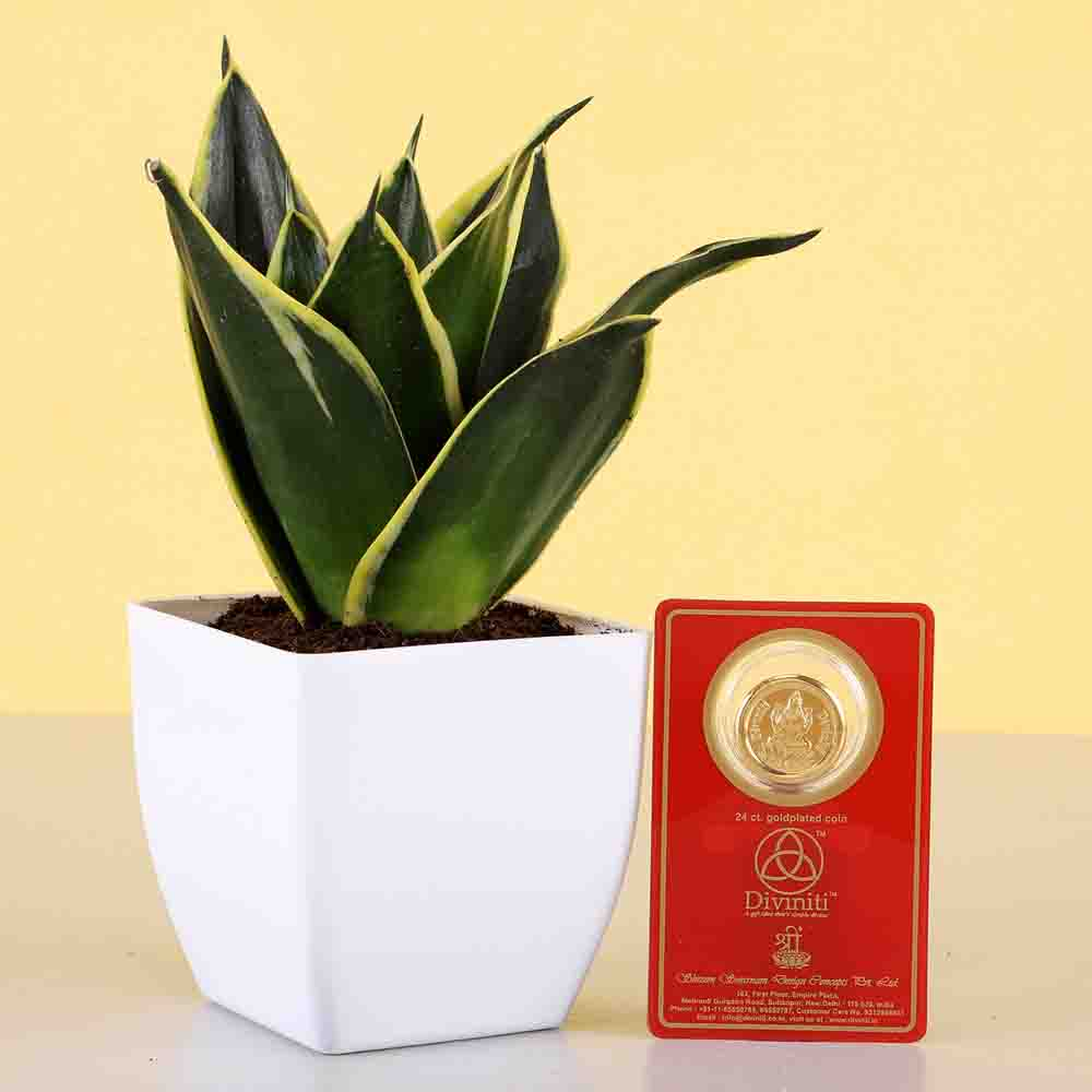 Diwali Hampers-MILT Sansevieria & Free Gold Plated Coin