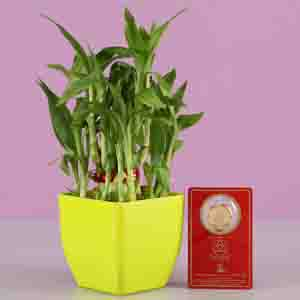 Diwali Hampers-Lucky Bamboo With Free Gold Plated Coin