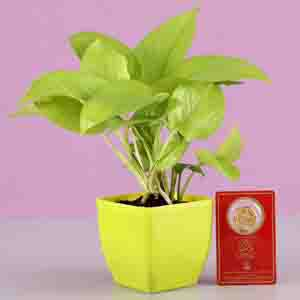 Diwali Hampers-Golden Money Plant With Free Gold Plated Coin