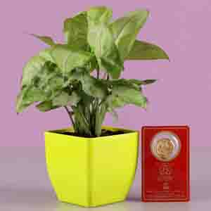 Diwali Hampers-Syngonium Plant With Free Gold Plated Coin