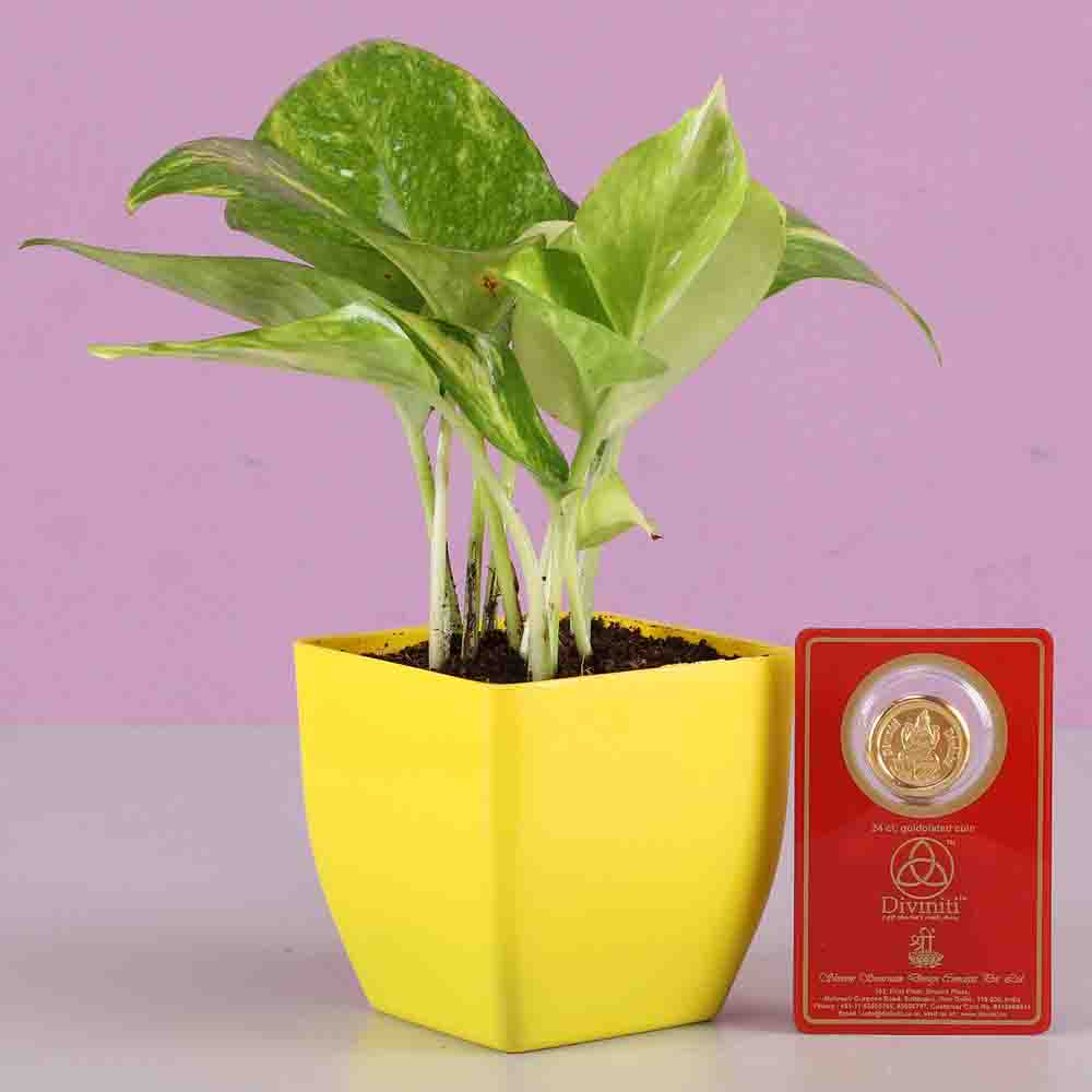 Diwali Hampers-Money Plant With Free Gold Plated Coin