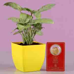 Diwali Hampers-Syngonium With Free Gold Plated Coin