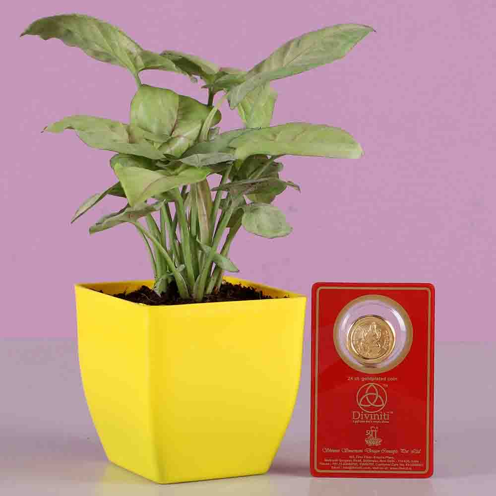 Syngonium With Free Gold Plated Coin