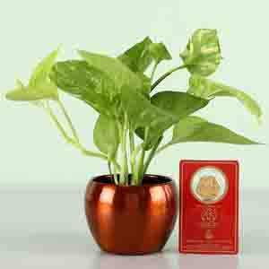 Diwali Hampers-Money Plant With Free 24 Carat Coin