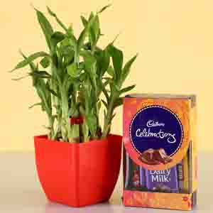 Diwali Hampers-2 Layer Lucky Bamboo With Cadbury Celebrations
