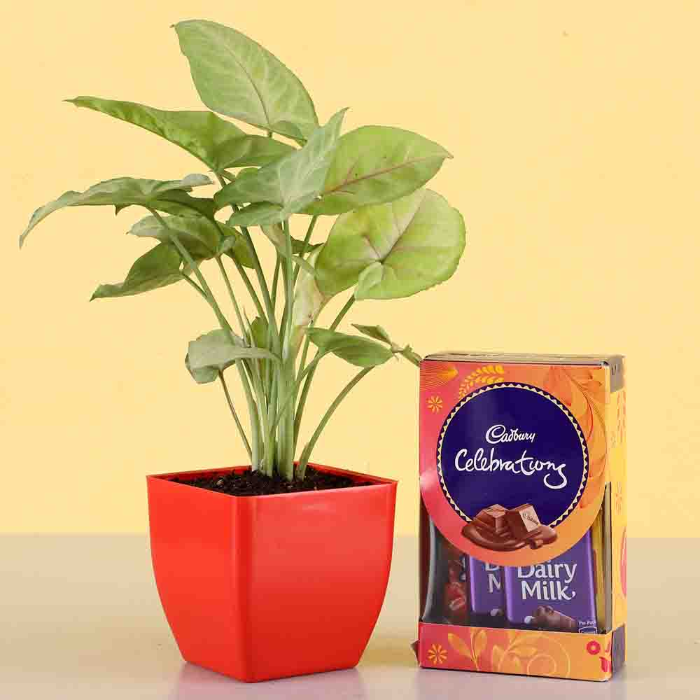 Cadbury Celebrations with Syngonium Plant