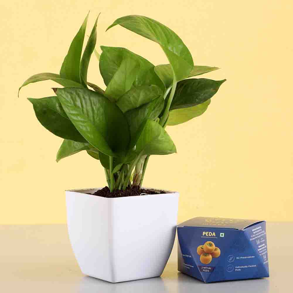 Money Plant With Sweet Peda