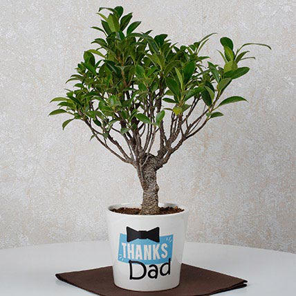 Plants-Fathers Day Special Ficus Bonsai Plant