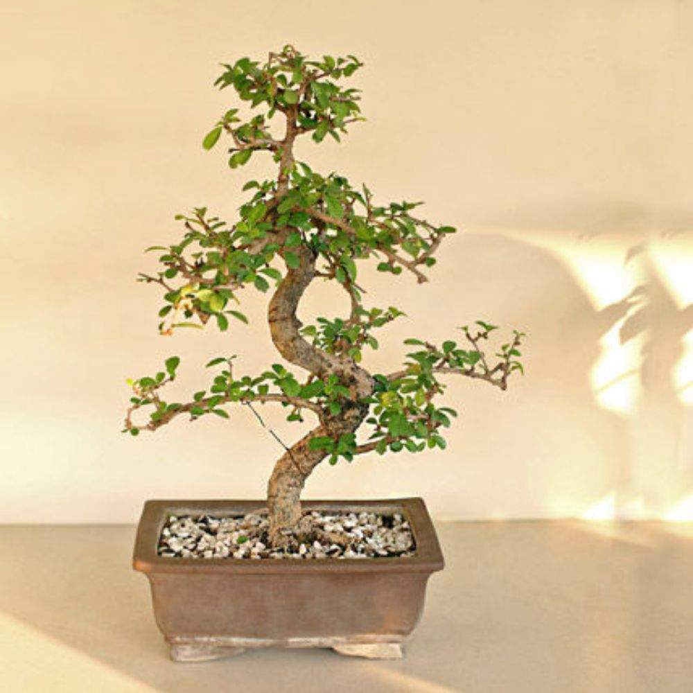 Bonsai carmona s-shaped plant in a pot