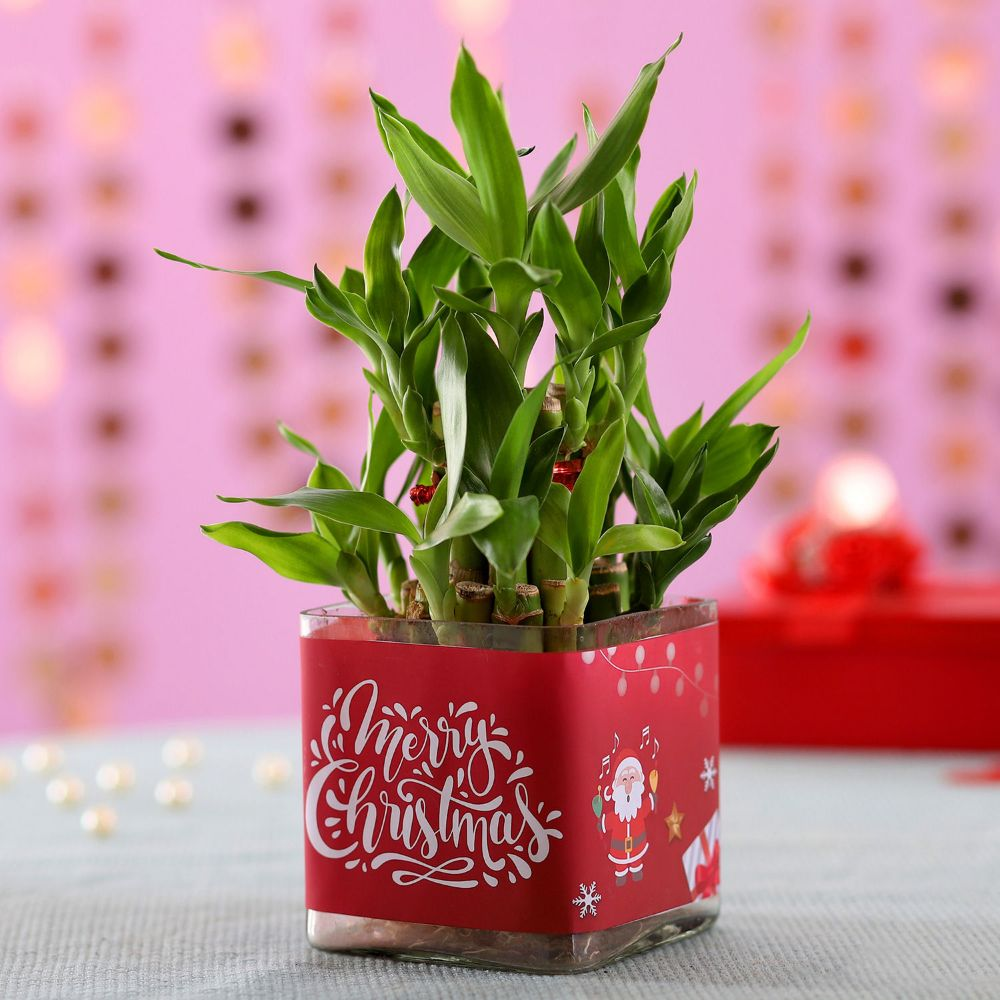 Online Lucky Bamboo Plants