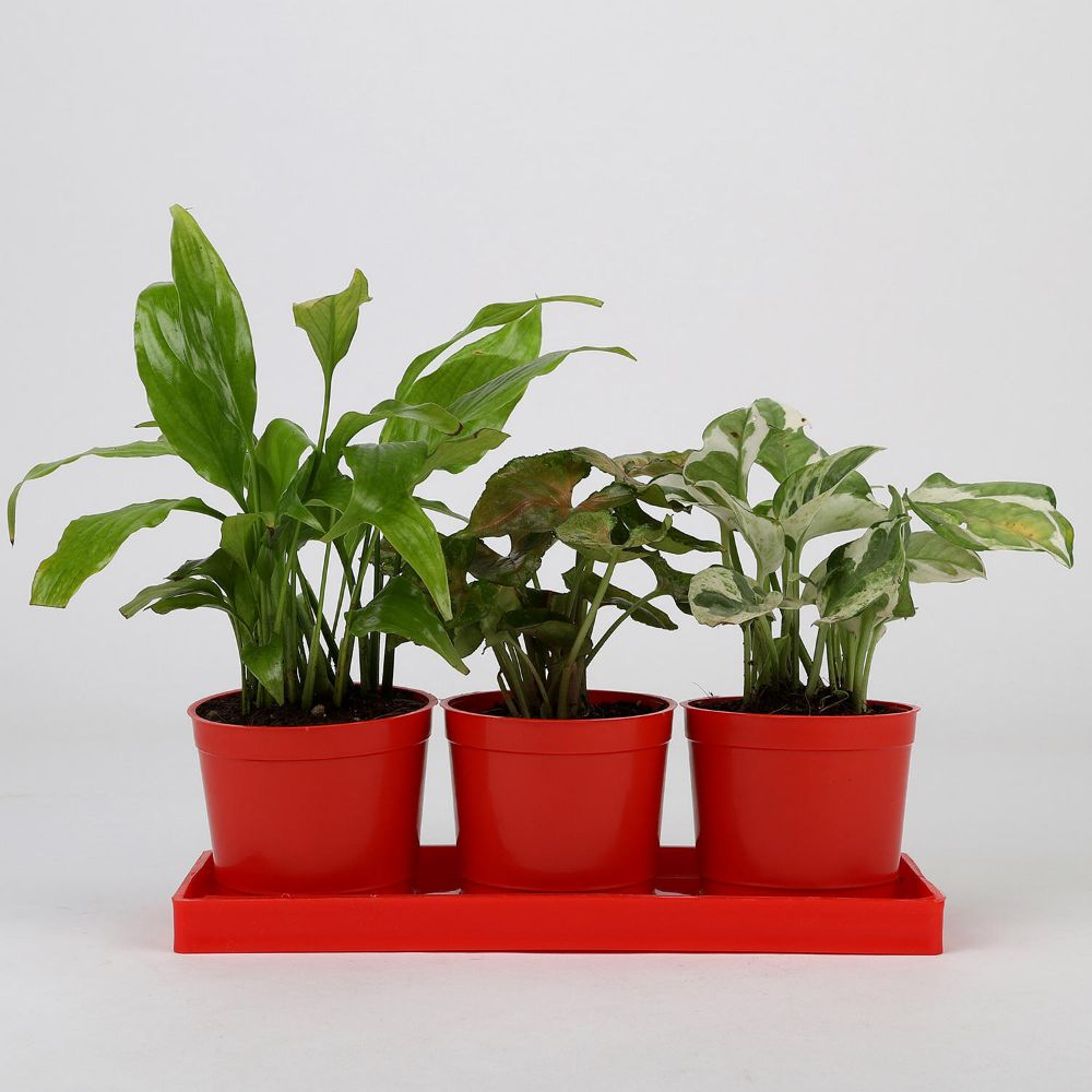 3 green plants combo online