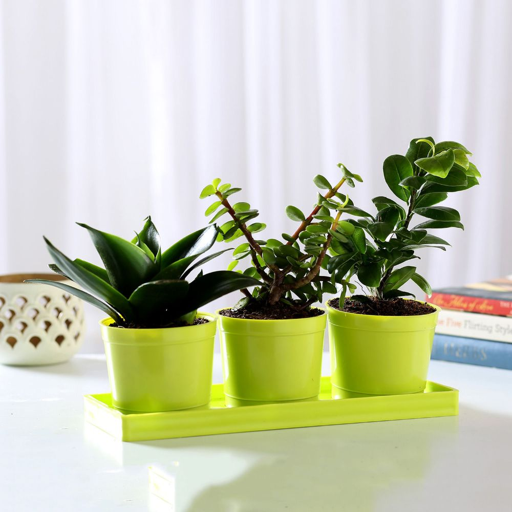 3 airpurifying plants with planter