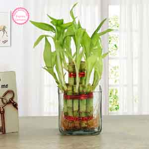 Plants-Good Luck Two Layer Bamboo Plant