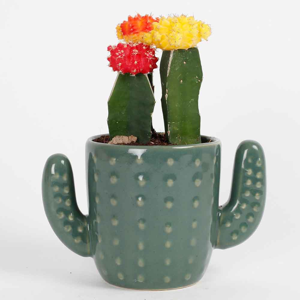 3 Moon Cactus Plants In A Cactus Vase