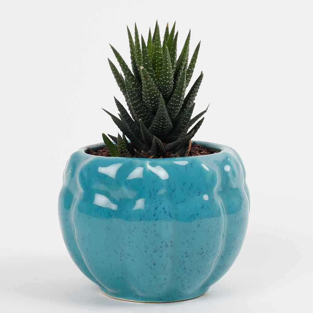 Haworthia Attenuata Succulent Plant in Ceramic Pot