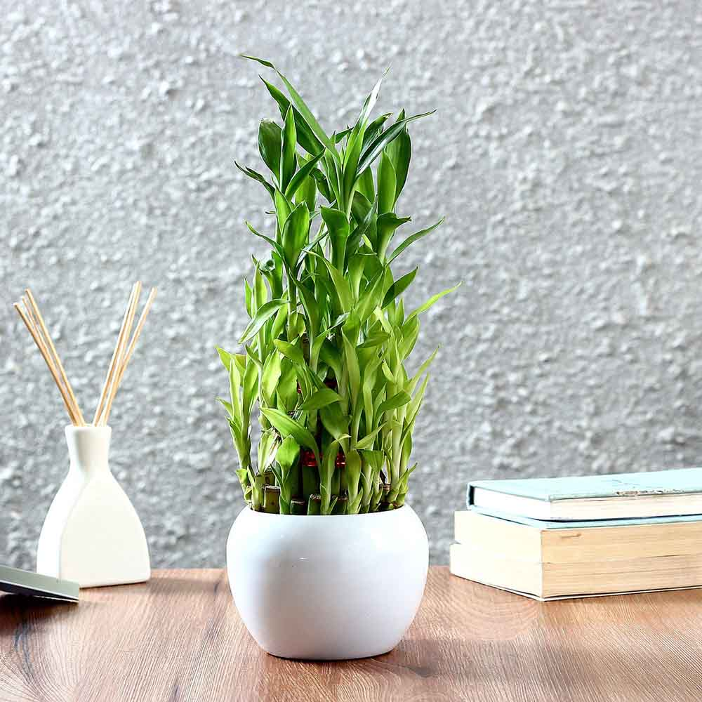 Three Layer Bamboo Plant in Orchid Metal Pot