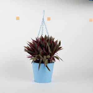 Plants-Boat Lily in Hanging Blue Metal Bucket