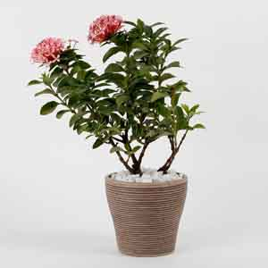 Plants-Ixora Red Dwarf Plant In Chocolate Brown Recycled Plastic Pot