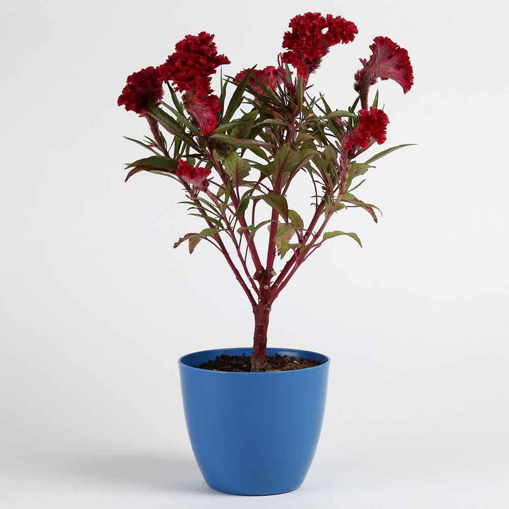 Cockscomb Plant in Blue Imported Plastic Pot
