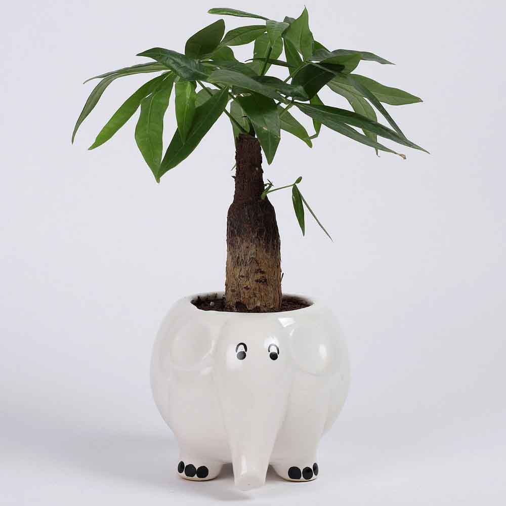 Pachira Bonsai in Elephant Ceramic Pot