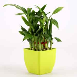 Plants-2 Layer Bamboo Plant In Green Melamine Pot