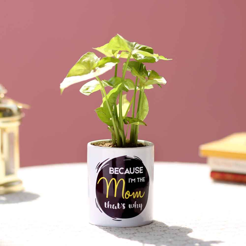 Syngonium Plant In Printed Pot For Mom