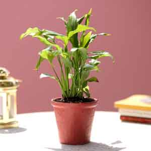 Plants-Peace Lily In Red Ceramic Pot