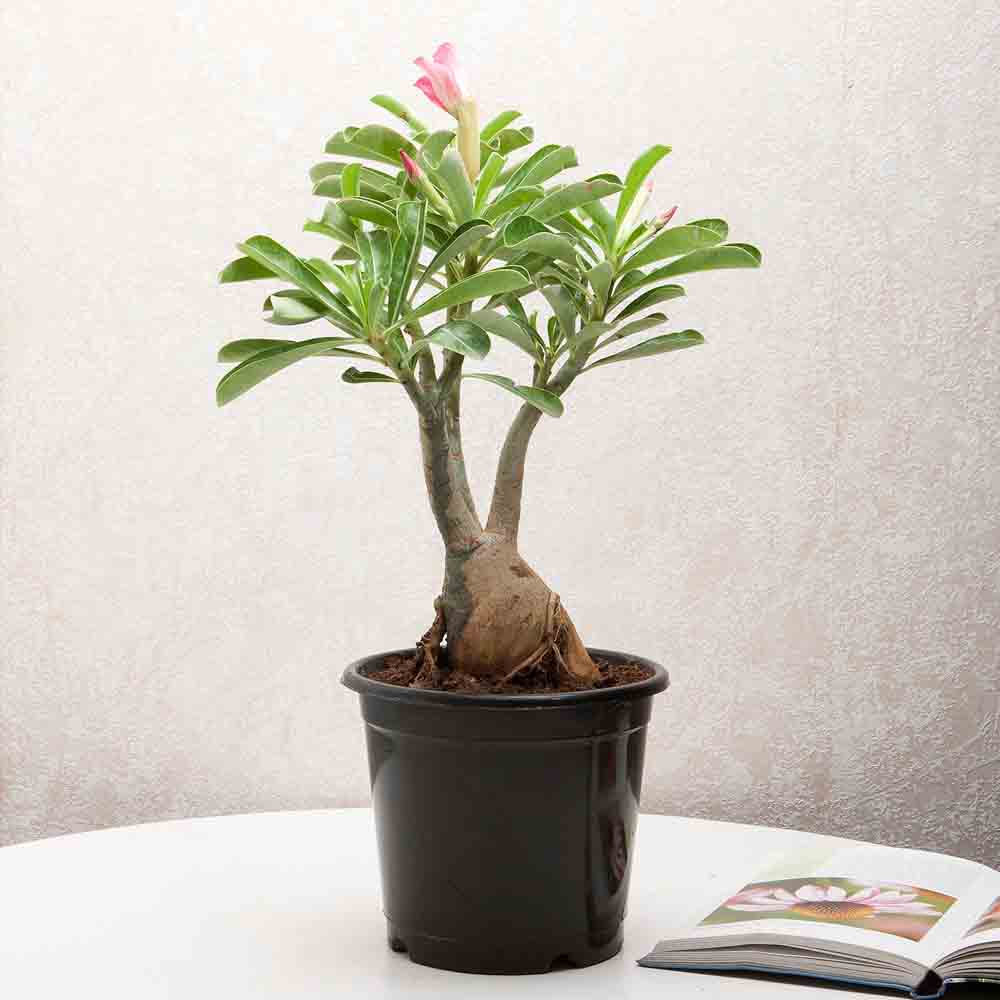 Adenium Desert Rose